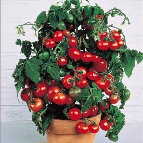 זרעי עגבניות שרי לגידול ביתי (100 זרעים)