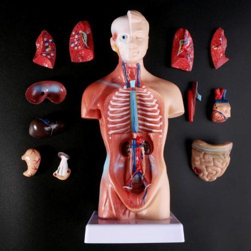 בובה עם איברים מתפרקים ללימוד אנטומיה