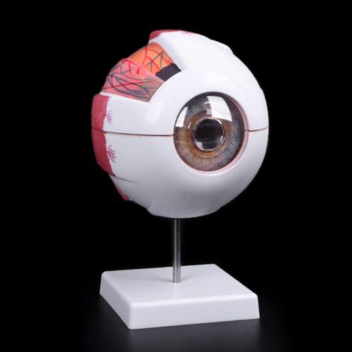 דגם אנטומי של העין ללימוד
