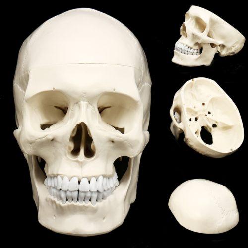 מודל של גולגולת אדם